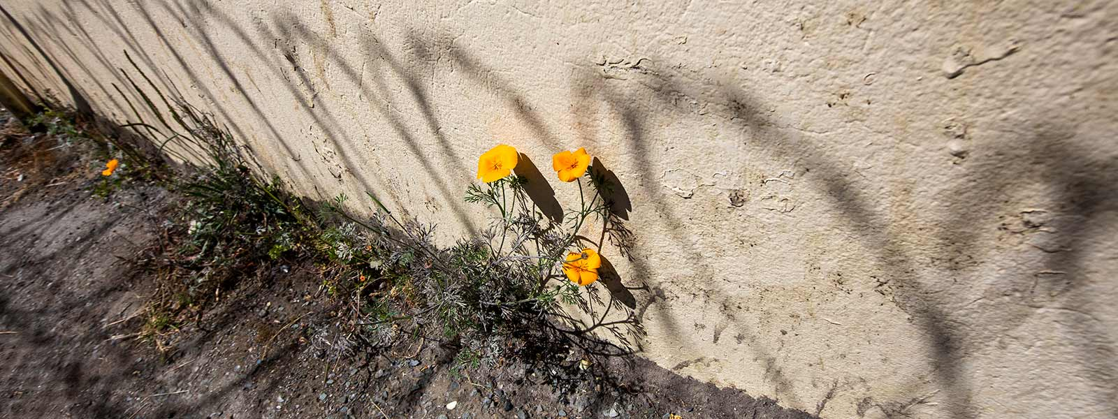 Flowers growin in the yard at San Quentin State Prison